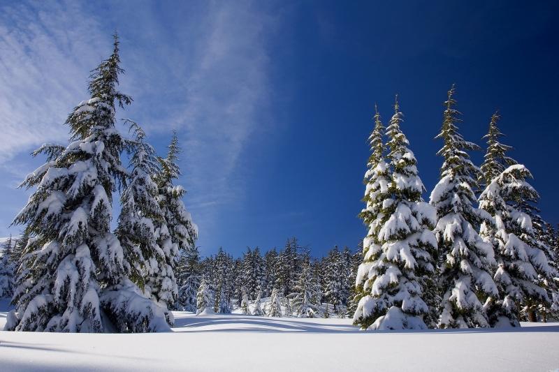 Snedækkede graner