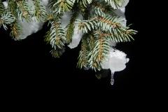 Frost i gran